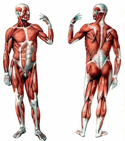 Эти мышцы - активная часть